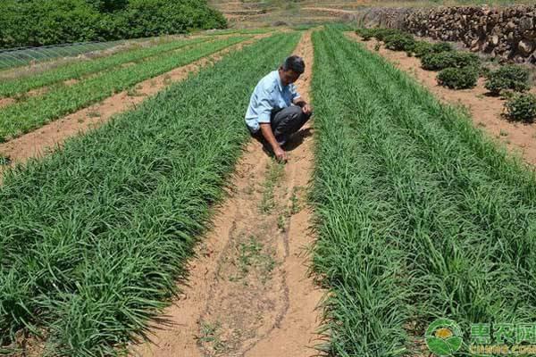 种植韭菜忌施这三种肥料,农户要记牢!