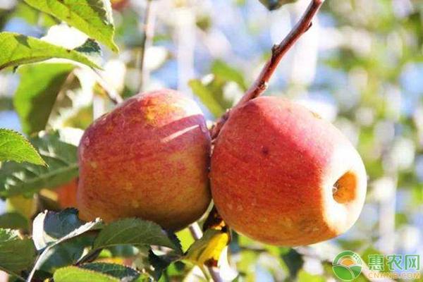 蘋果樹春季的*肥水管理